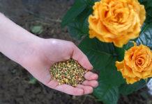 5 najczęstszych błędów popełnianych w trakcie pielęgnacji róż