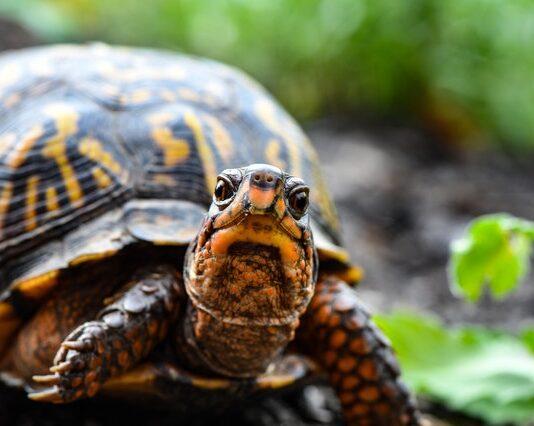 Pożywienie dla żółwi wodno-lądowych